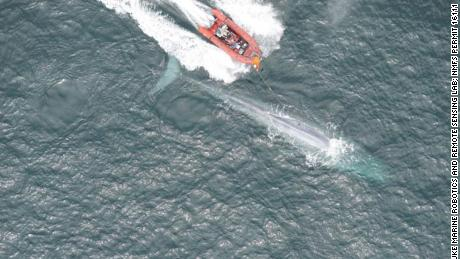 Researchers from the Goldbogen Lab place a suction-cup tag on a blue whale in Monterey Bay.