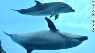 It's not only humans who are right-handed. Dolphins also have a dominant side
