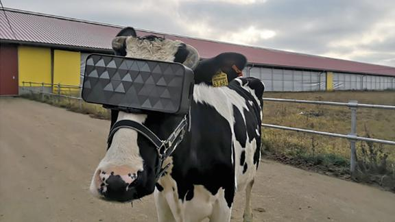 A cow wearing VR goggles is transplanted to a summer field, in an attempt to increase its mood.