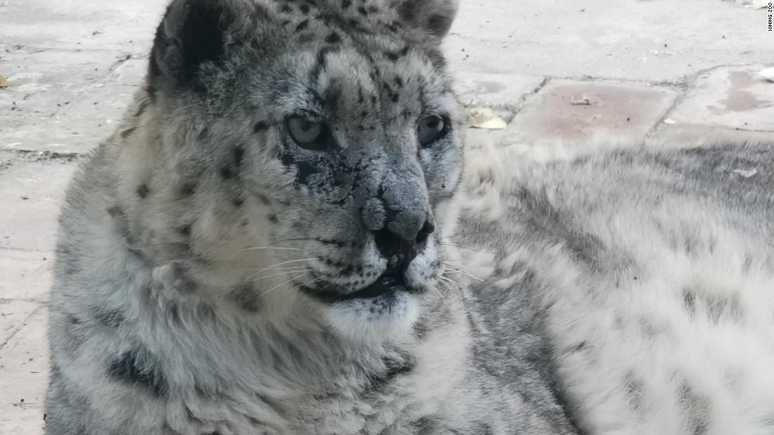 Wild snow leopard's vision restored after world-first cataract surgery