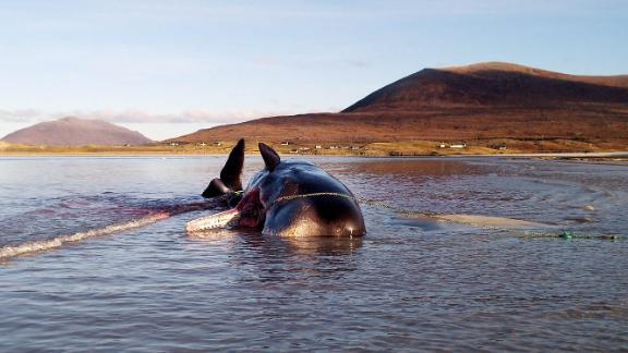 The young male sperm whale became stranded on the Isle of Harris in Scotland