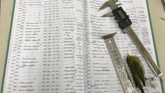 This photo shows one of David Willard's ledgers, his measuring tools, and a Tennessee Warbler. Willard took the measurements of the 70,716 dead bird specimens in this study and recorded them by hand into ledgers like this.