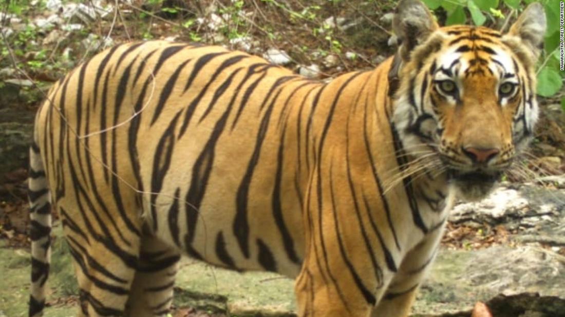 Μια τίγρη πήγε σε 800 μιλίων οδύσσεια σε αναζήτηση τροφής, έναν σύντροφο, και το σπίτι