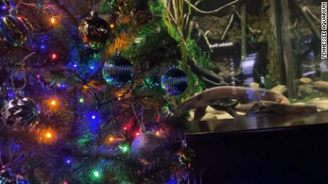 Watch National Christmas Tree Lighting 2020 Cnn See electric eel light a Christmas tree   CNN Video
