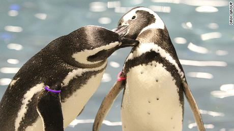 Japan aquarium penguins' love relationships
