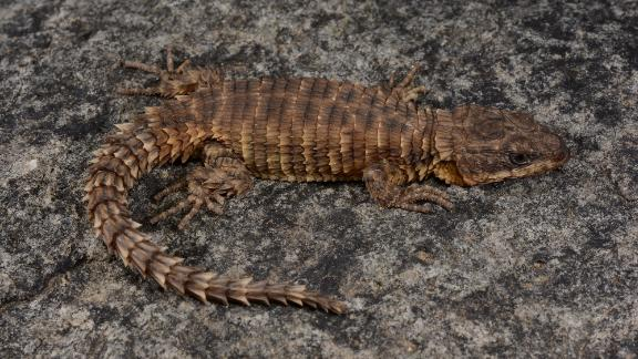 This girdled lizard, Cordylus phonolithos, was found on the second-highest mountain peak in Angola.