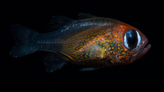This cat-eyed cardinalfish found in Papua New Guinea is one of the new fish species found in 2019.