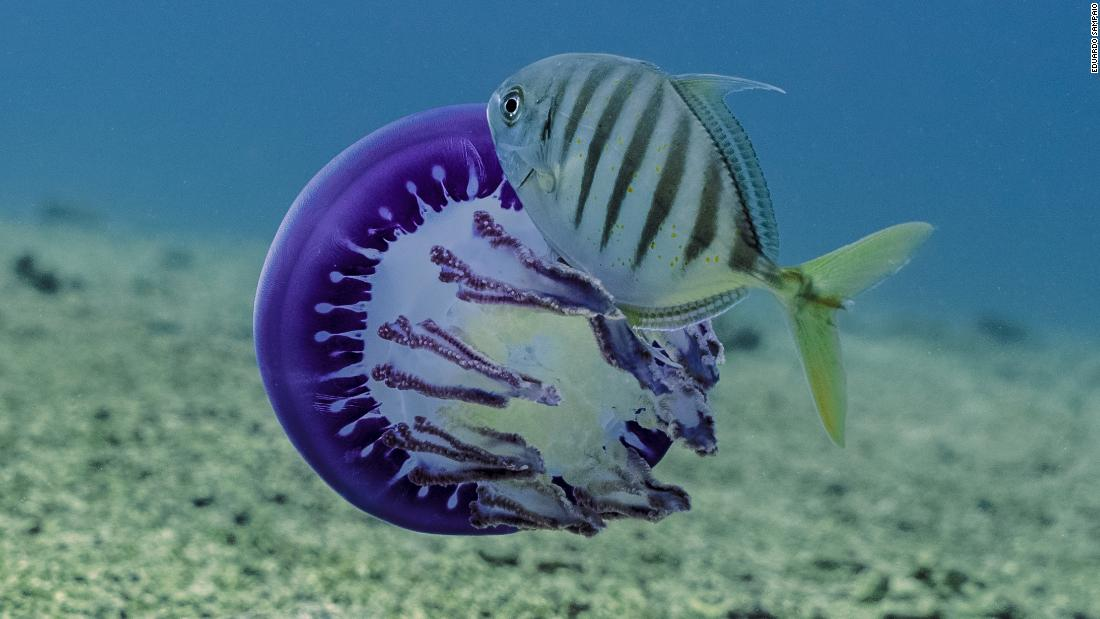 A young blue trevally feeds on a purple jellyfish, and guards it against others who may wish to do the same. <br />