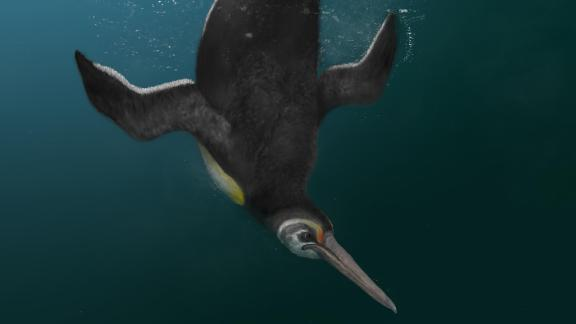 Newly discovered penguin species Kupoupou stilwelli lived after the dinosaurs went extinct and acts as a missing link between giant extinct penguins and the modern penguins in Antarctica today.
