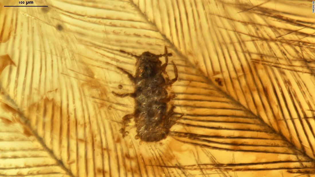A lice-like insect was trapped in amber crawling and munching on a dinosaur feather.