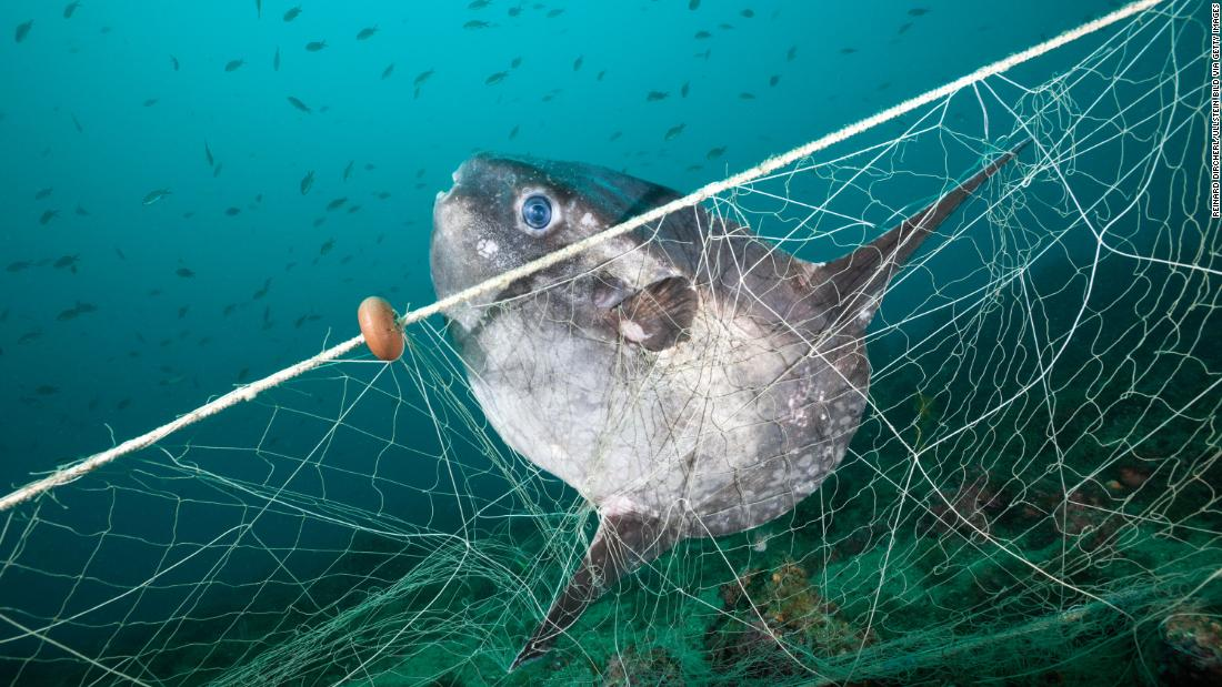 "This sunfish has got trapped in a ghost fishing net, off the coast of Spain's Costa Brava. According to <a href=""https://www.greenpeace.org/international/publication/25438/ghost-gear/"" target=""_blank"">Greenpeace</a>, an estimated 640,000 tonnes of fishing gear is dumped or lost in the ocean every year, making up a significant proportion of all marine plastic waste. The nets can carry on fishing for hundreds of years, killing fish, whales, dolphins, turtles and seabirds."