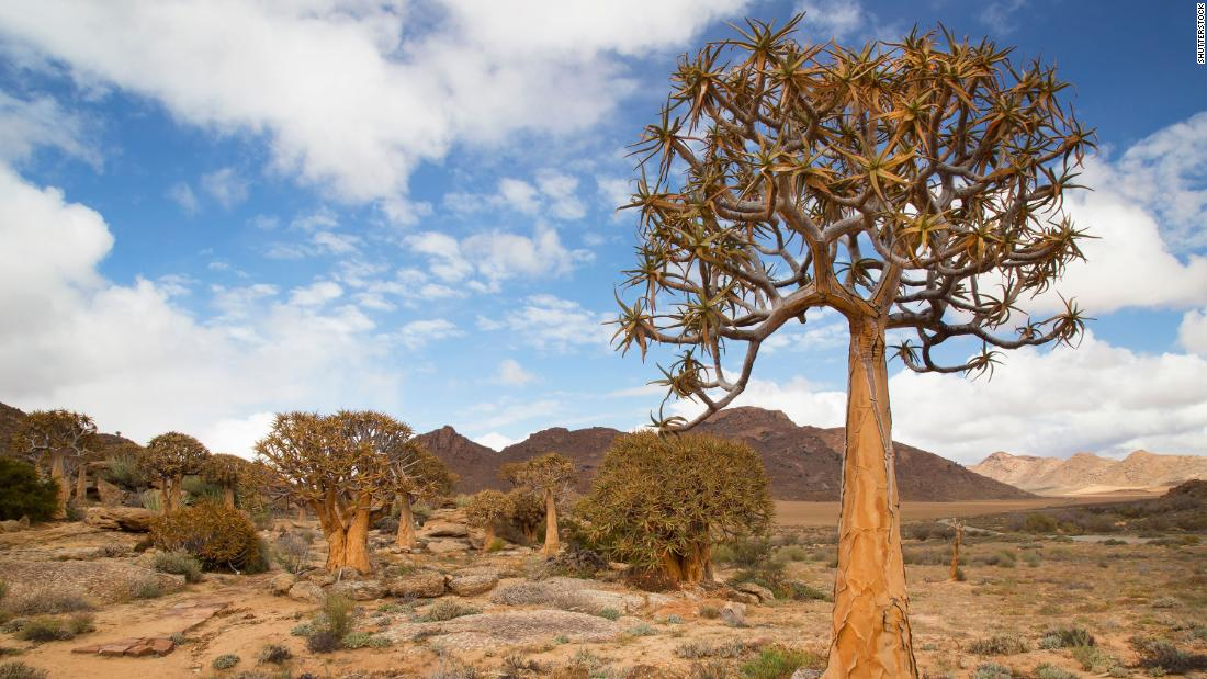 "Filled with wildlife, the Succulent Karoo is the most biodiverse arid desert on the planet. Pictured, the quiver tree or ""kokerboom,"" which grows here."