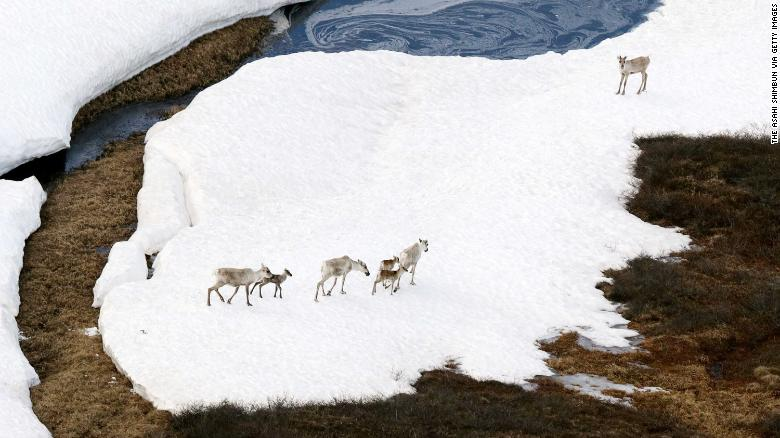 Caribous are seen at the Arctic National Wildlife Refuge in Alaska.
