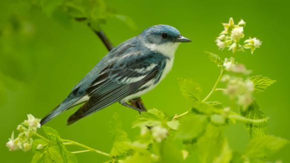 """The gorgeous, bright blue, Cerulean warbler, has had its conservation status moved from """"vulnerable"""" to """"near threatened."""" The tiny, insect-eating, songbirds migrate between their breeding grounds in eastern North America and their winter home in the Andes. Between 1970 and 2014, their populations declined by 72% due to mining, logging and agricultural expansion. However, their numbers have grown in recent years, thanks to reduced forest loss and replanting projects."""