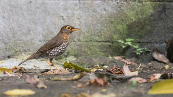 The Forest thrush is a shy bird that lives on Montserrat, Guadeloupe, Dominica and St. Lucia -- islands which make up part of the Lesser Antilles group in the Caribbean. Deforestation caused the birds