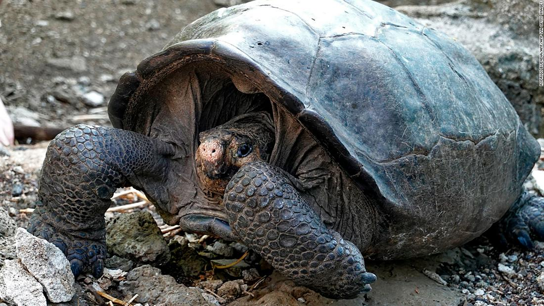 Some animals have been presumed extinct but then discovered alive and well. The last confirmed sighting of the Fernandina Island Galapagos tortoise had occurred over a century ago, in 1906. It was assumed that the  species had died out until this female tortoise, found on the Ecuadorian island in February 2019, proved it still exists.