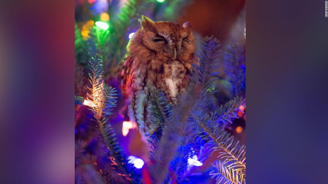 Keluarga menemukan burung hantu yang bersembunyi di pohon Natal