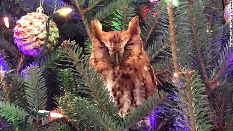 an owl hiding in their Christmas tree