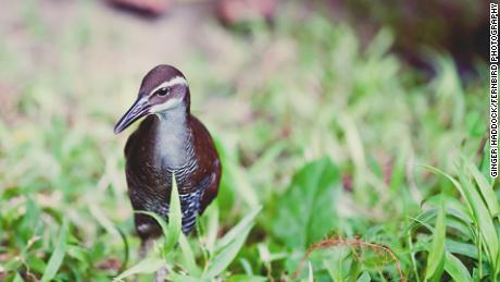 The Guam rail was extinct in the wild for nearly 40 years. Now it's back.