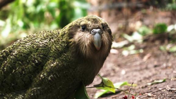 kakapo new zealand C2E_00000801.jpg