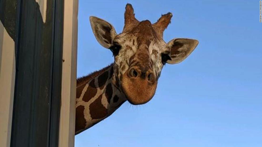 フェニックス動物園の愛しのキリン金型