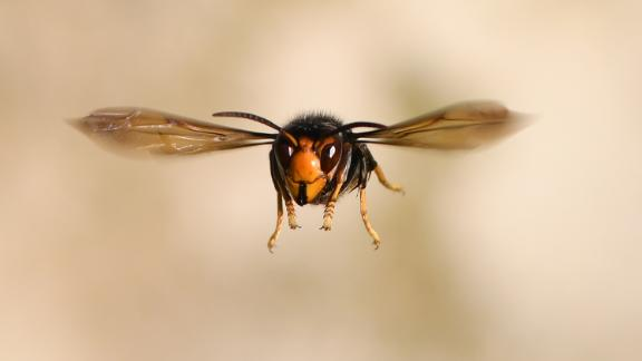 The Asian giant hornet, a 2-inch menace that feasts on honeybees, has invaded Washington state. It might