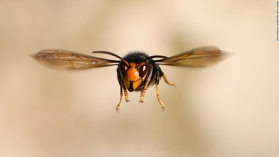 A giant hornet has invaded Washington state, and it's hungry for honeybees
