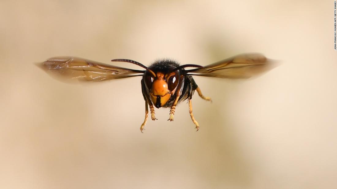 Eine riesige Hornisse eingedrungen ist, der Staat Washington, und es ist hungrig für Honigbienen