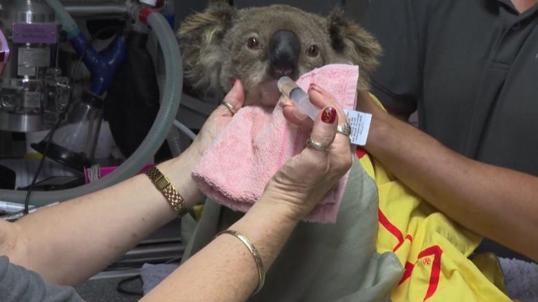 Australia Bushfires Up To 30 Of Koalas May Have Been Killed In New South Wales Cnn