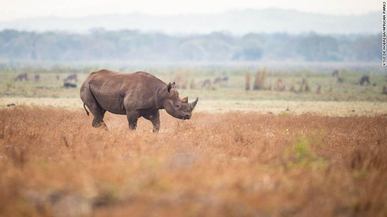 """According to African Parks, 17 black rhinos were moved and """"successfully released"""" into their new home."""