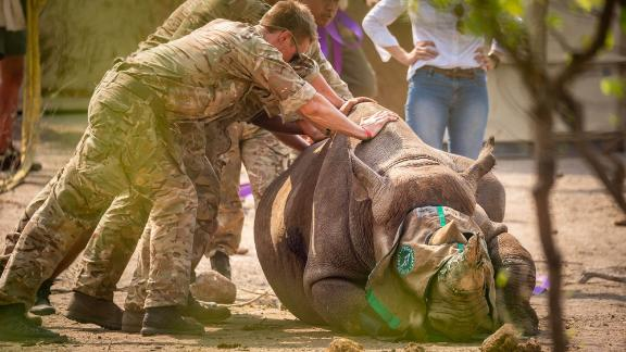 There are currently about 5,000 black rhinos in the wild.