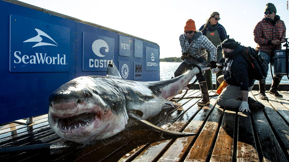 What's 12-feet long, almost a thousand pounds and is hanging out near South Florida? Ironbound, the great white shark
