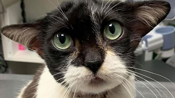 Joy, the sweet Baby Yoda lookalike cat, was found with a deep wound around her neck.