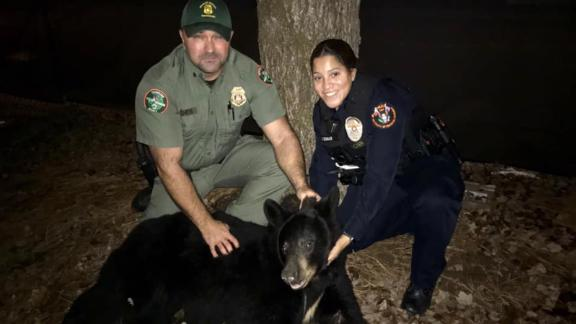 A 200-lb black bear was caught roaming around the University of Tennessee campus.