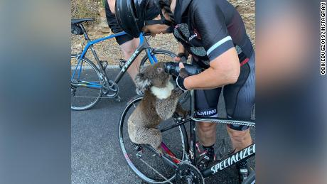 Watch this thirsty koala guzzle a cyclist's water bottle