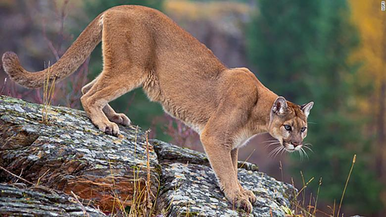 Mountain lions, like this one pictured on the US Forest Service website, are not known for consuming human flesh.