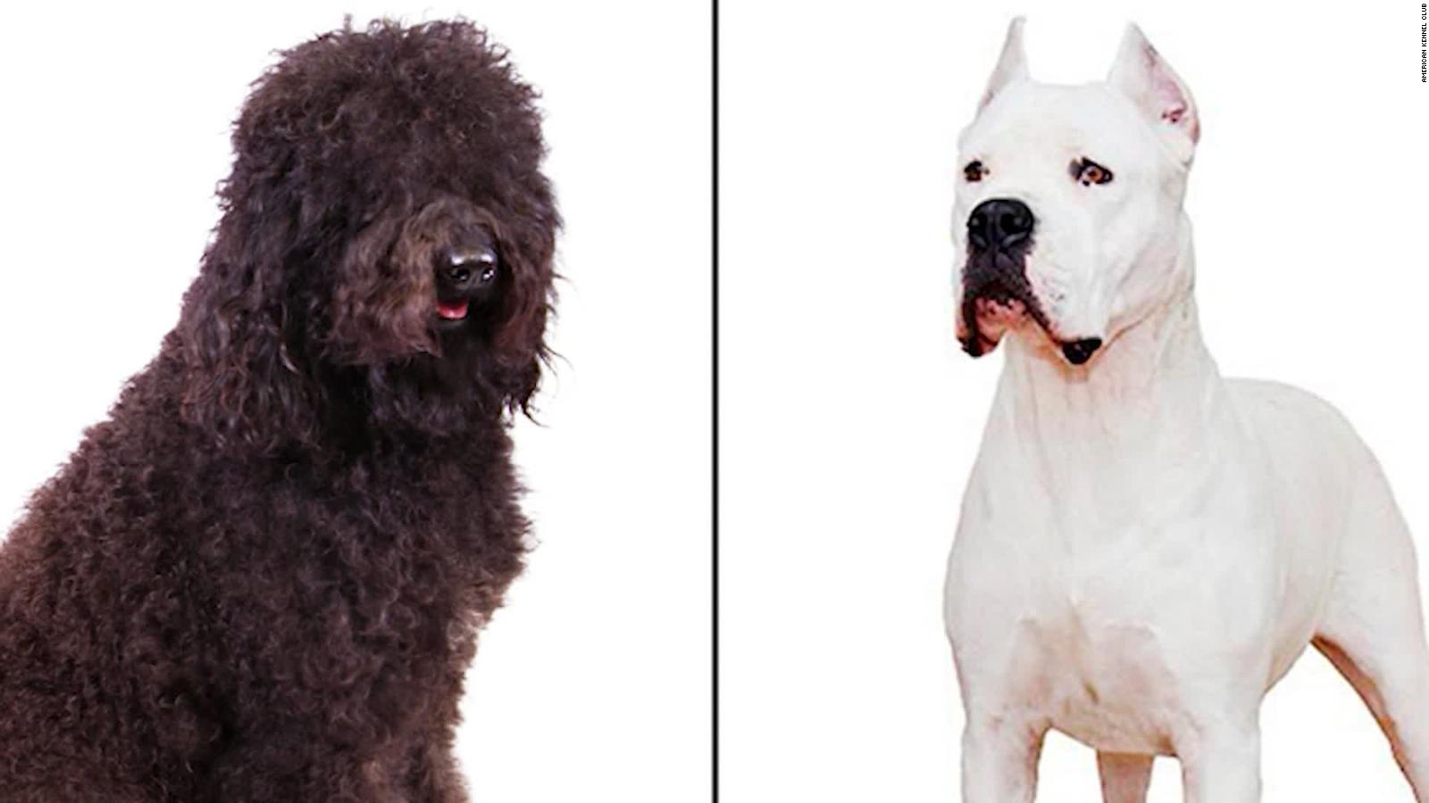 AKC announces 2 new dog breeds: the dogo Argentino and barbet - CNN Video