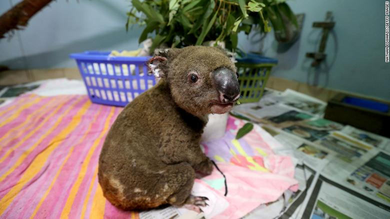 A koala recovering from burns at The Port Macquarie Koala Hospital on November 29, 2019.