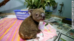 Millions of animals are dying from the Australian fires, and the environment will suffer for years to come
