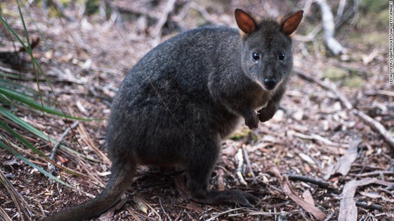A potoroo, a small marsupial that belongs to the kangaroo family.