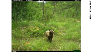 Wildlife flourishing in uninhabited areas around Fukushima