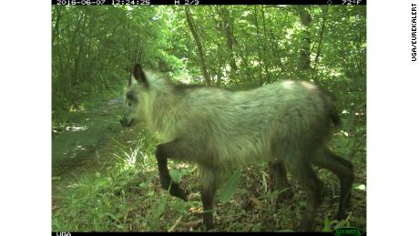 A Japanese serow explores the area.