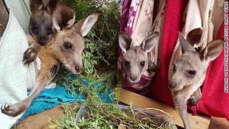 Kangaroo joeys hang out in pouches-turned-hammock, designed to mimic their mothers' pouches.