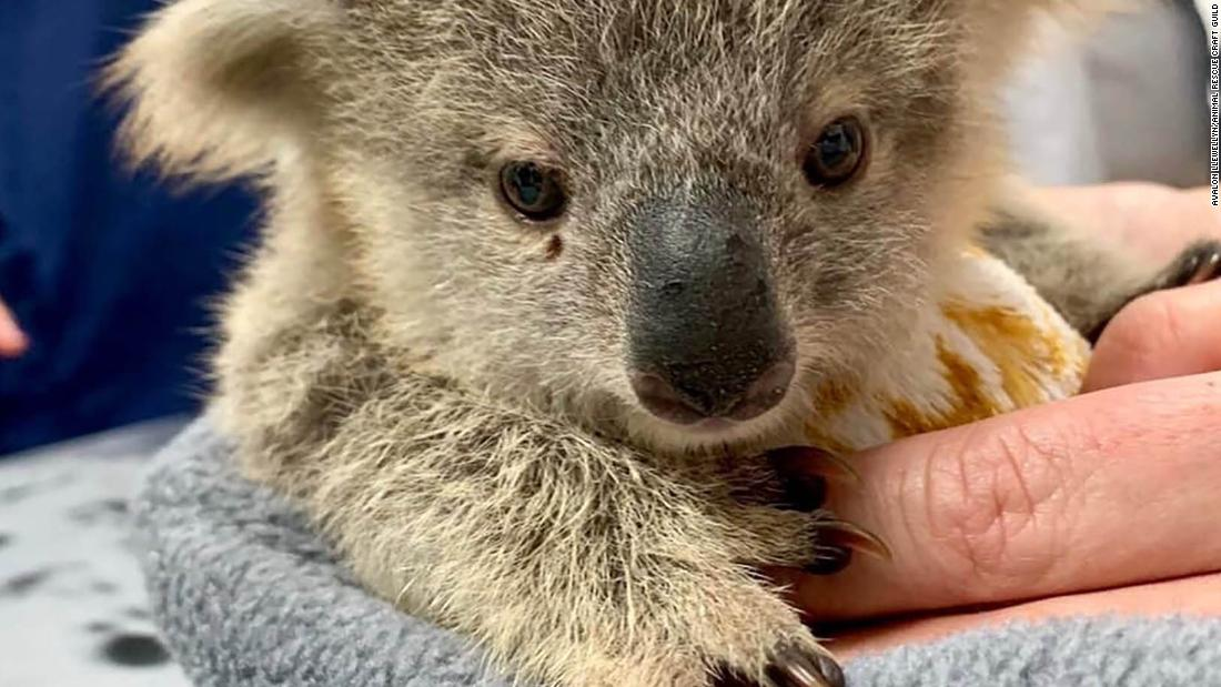 Volunteers are sewing pouches for Australia's orphaned or injured kangaroos, koalas and bats
