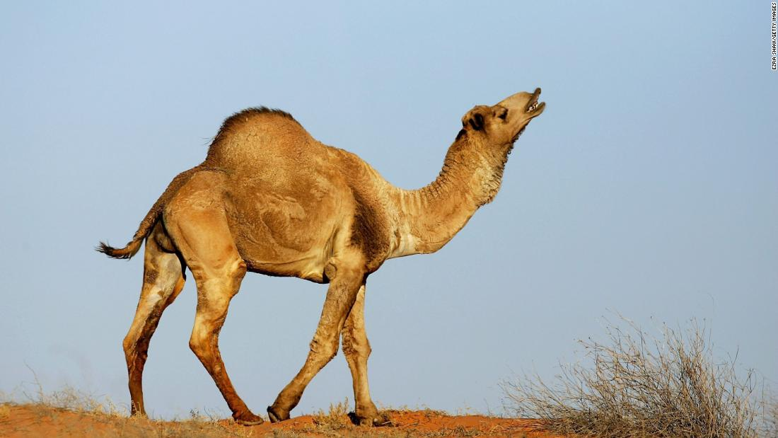 10,000 camels at risk of being shot in Australia as they desperately search for water