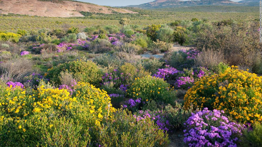 Namaqualand fynbos in flower, Namaqualand, Northern Cape, South Africa.