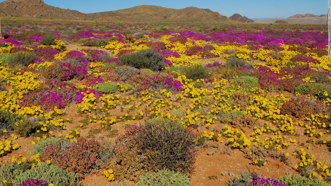 Flowers after heavy rainfall in the Succulent Karoo, Namaqualand, Namibia.