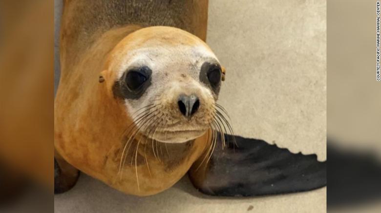 A California animal rescue organization named this injured sea lion Mandalorian.