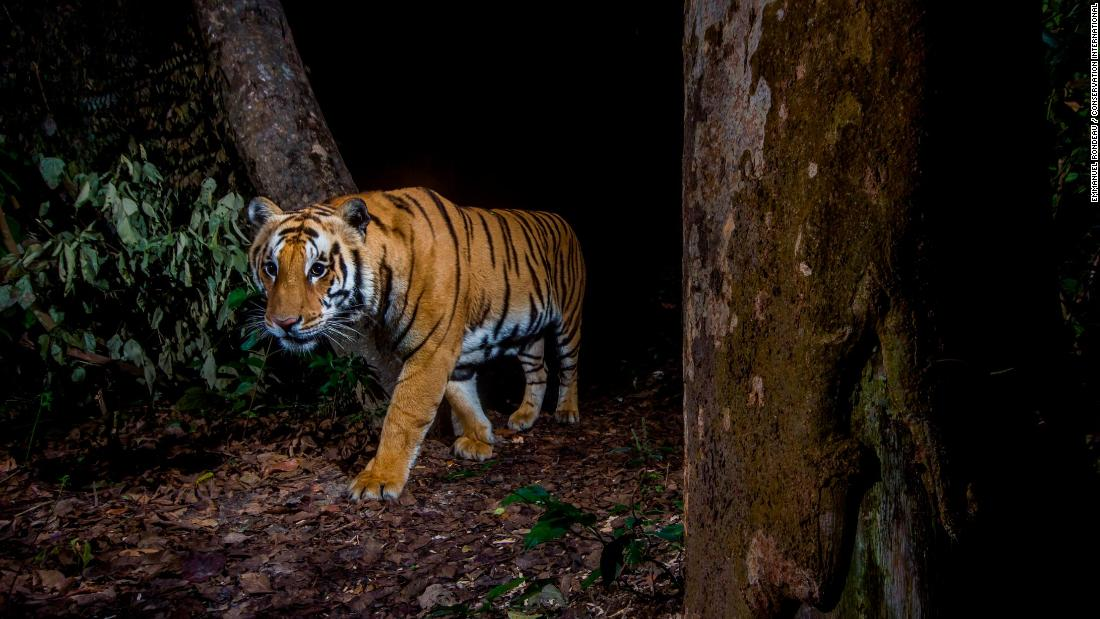 Camera traps allow researchers to discretely capture photos of wildlife, like this one of a tiger in Bardia National Park, Nepal.