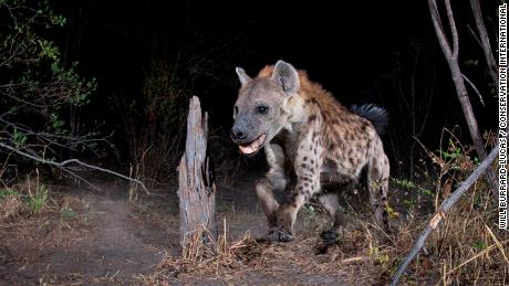 A spotted hyena in the Zambezi Region of Namibia